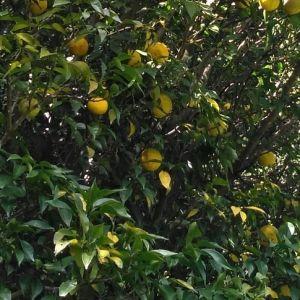 昆布汁の薬味・柚子は、畑にある8mほどの木から収穫しています♪ついこの前まで青柚子でしたが、この通りだいぶ黄色く色づいて、中の果肉も甘みを帯びて来ました1杯目の昆布汁で昆布そのものの味をお楽しみ頂いた後は、ぜひ柚子を入れてお飲み下さい🤗お代わり自由の昆布汁 ¥100※むかし鳥orばくだんをご注文の場合は無料です♪http://ikadamitake.com営業時間11~17時(夏季)木曜定休(祭日は営業)※むかし鳥、ばくだんは数に限りがございます。1個からお取り置き致します♪Tel.0428-85-8726#炭鳥蔵ikada #むかし鳥 #炭鳥ikada #ばくだん #mitake #tokyo #御岳 #御岳山 #御岳山ロックガーデン #武蔵御嶽神社 #多摩川 #御岳渓谷 #東京アドベンチャーライン #御岳ランチ #奥多摩フィッシングセンター #奥多摩 #日原鍾乳洞 #味玉 #バイク #ロードバイク #カヌー #カヤック #riversup  #デッドエンド #ペット可 #柚子の木 #柚子