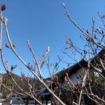 少しずつ春の準備をしているミツバツツジの固いつぼみたちhttp://ikadamitake.com営業時間・1月〜  3月 11〜16時  4月〜12月 11〜17時金曜定休(祭日は営業)※むかし鳥、ばくだんは数に限りがございます。1個からお取り置き致します♪Tel.0428-85-8726#むかし鳥 #炭鳥ikada #ばくだん #mitake #tokyo #御岳 #御嶽駅 #御岳山 #御岳山ロックガーデン #武蔵御嶽神社 #御岳神社 #多摩川 #御岳渓谷 #東京アドベンチャーライン #御岳ランチ #奥多摩フィッシングセンター #奥多摩 #日原鍾乳洞 #okutama #バイク #ロードバイク #カヌー #カヤック #riversup  #デッドエンド #ペット可 #ミツバツツジ