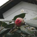 既に開き始めた椿を発見ですhttp://ikadamitake.com 営業時間 1月から3月  11~16時  4月から12月 11~17時金曜定休(祭日は営業)※むかし鳥、ばくだんは数に限りがございます。1個からお取り置き致します♪Tel.0428-85-8726#むかし鳥 #体験型 #炭鳥ikada #ばくだん #mitake #tokyo #御岳 #御岳山 #御岳山ロックガーデン #武蔵御嶽神社 #御岳神社 #多摩川 #御岳渓谷 #東京アドベンチャーライン #御岳ランチ #奥多摩フィッシングセンター #奥多摩 #日原鍾乳洞 #味玉 #串 #バイク #ロードバイク #カヌー #カヤック #リバーSUP #デッドエンド #ペット可 #椿
