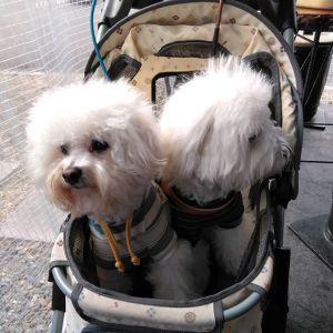 青梅市内にお住まいのご家族が #ビションフリーゼ の兄弟犬と一緒にお越し下さいましたペット可で検索なさって、有難い事に炭鳥ikadaでお昼ごはんにして下さいました🤗ワンちゃんたちは…左から シャルルくん♂もうすぐ3歳&ニコルくん♂6ヶ月です年は離れていますが、お母さんが同じ兄弟犬です仲良く同じカートにおさまって可愛かったですご来店ありがとうございましたhttp://ikadamitake.com営業時間・1月〜  3月 11〜16時4月〜12月 11〜17時金曜定休(祭日は営業)※むかし鳥、ばくだんは数に限りがございます。1個からお取り置き致します♪Tel.0428-85-8726#むかし鳥 #体験型 #炭鳥ikada #ばくだん #mitake #tokyo #御岳 #御嶽駅 #御岳山 #御岳山ロックガーデン #武蔵御嶽神社 #御岳神社 #多摩川 #御岳渓谷 #東京アドベンチャーライン #御岳ランチ #奥多摩フィッシングセンター #奥多摩 #日原鍾乳洞 #okutama #バイク #ロードバイク #カヌー #カヤック #riversup #デッドエンド #ペット可