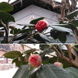 今日の椿なかなか開かないないもどかしさけれども、つぼみは鈴なりなんです一色の花斑入りの花一つの木で色々に咲きほこる日をまだかまだかと心待ちにしています🤗http://ikadamitake.com営業時間・1月〜 3月 11〜16時4月〜12月 11〜17時金曜定休(祭日は営業)※むかし鳥、ばくだんは数に限りがございます。1個からお取り置き致します♪Tel.0428-85-8726#むかし鳥 #体験型 #炭鳥ikada #ばくだん #mitake #tokyo #御岳 #御嶽駅 #御岳山 #御岳山ロックガーデン #武蔵御嶽神社 #御岳神社 #多摩川 #御岳渓谷 #東京アドベンチャーライン #御岳ランチ #奥多摩フィッシングセンター #奥多摩 #日原鍾乳洞 #青梅線五日市線の旅 #イマタマ #okutama #バイク #ロードバイク #カヌー #カヤック #riversup #デッドエンド #ペット可 #椿