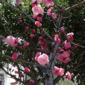 開花が嬉しくてもう1枚postします🤗http://ikadamitake.com 営業時間 1月から3月  11~16時4月から12月 11~17時金曜定休(祭日は営業)※むかし鳥、ばくだんは数に限りがございます。1個からお取り置き致します♪Tel.0428-85-8726#むかし鳥 #体験型 #炭鳥ikada #ばくだん #mitake #御岳 #御岳山 #御岳山ロックガーデン #武蔵御嶽神社 #御岳神社 #多摩川 #御岳渓谷 #東京アドベンチャーライン #御岳ランチ #奥多摩フィッシングセンター #奥多摩 #日原鍾乳洞 #青梅線五日市線の旅 #イマタマ #imatamagourmet #okutama #バイク #ロードバイク #カヌー #カヤック #リバーSUP #デッドエンド #ペット可 #紅梅