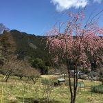 畑の #枝垂れ桜