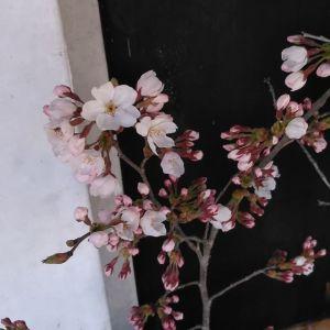 斜めお向かいさんから、今日は #桜 を頂きました斜めお向かいさんのおうちには、道沿いと、そして炭鳥ikadaからよく見える所に大きな桜の木があって、この季節は見る人の目を楽しませてくれます🤗見頃まではもう少しですね♪都心の桜が散る頃、ちょうど満開になりそうですhttp://ikadamitake.com営業時間・4月〜12月 11〜17時1月〜3月 11〜16時金曜定休(祭日は営業)※むかし鳥、ばくだんは数に限りがございます。1個からお取り置き致します♪Tel.0428-85-8726#むかし鳥 #体験型 #炭鳥ikada #ばくだん #mitake #御岳 #御嶽駅 #御岳山 #御岳山ロックガーデン #武蔵御嶽神社 #御岳神社 #御岳渓谷 #東京アドベンチャーライン #御岳ランチ #奥多摩フィッシングセンター #奥多摩 #日原鍾乳洞 #青梅線五日市線の旅 #imatamagourmet #バイク #ロードバイク #カヌー #カヤック #ラフティング #riversup #デッドエンド #ペット可 #ソメイヨシノ