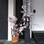 蔵の入口の桜
