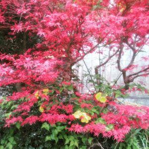 お向かいさんの #紅葉 と #山吹色のコントラストが綺麗http://ikadamitake.com営業時間・4月〜12月 11〜17時1月〜3月 11〜16時金曜定休(祭日は営業)※むかし鳥、ばくだんは数に限りがございます。1個からお取り置き致します♪Tel.0428-85-8726#むかし鳥 #体験型 #炭鳥ikada #ばくだん #mitake #御岳 #御嶽駅 #御岳山 #御岳山ロックガーデン #武蔵御嶽神社 #御岳神社 #御岳渓谷 #東京アドベンチャーライン #御岳ランチ #奥多摩フィッシングセンター #奥多摩 #日原鍾乳洞 #イマタマ #バイク #ロードバイク #サイクリング #カヌー #カヤック #ラフティング #riversup #デッドエンド #ペット可 #若葉だけれど紅葉