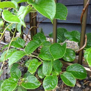 マタタビ科マタタビ属の #サルナシ の葉も、青々と育っていますサルナシの実はキウイフルーツを無毛にしてミニミニサイズにした様な見た目で、味もキウイにそっくりです♪http://ikadamitake.com営業時間・4月〜12月 11〜17時1月〜3月 11〜16時金曜定休(祭日は営業)※むかし鳥、ばくだんは数に限りがございます。1個からお取り置き致します♪Tel.0428-85-8726#むかし鳥 #体験型 #炭鳥ikada #ばくだん #mitake #御岳 #御嶽駅 #御岳山 #御岳山ロックガーデン #武蔵御嶽神社 #御岳神社 #御岳渓谷 #東京アドベンチャーライン #御岳ランチ #奥多摩フィッシングセンター #奥多摩 #日原鍾乳洞 #イマタマ #バイク #ロードバイク #サイクリング #カヌー #カヤック #ラフティング #riversup #デッドエンド #ペット可 #さるなし #猿梨