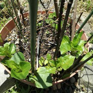 #ホオズキ の葉っぱが出てきました鉢植えを買ってから今年で三年目、液肥のみで殆ど放置ですが、毎年立派な実りを見せてくれます🤗http://ikadamitake.com 営業時間4月から12月 11~17時1月から3月 11~16時金曜定休(祭日は営業)※むかし鳥、ばくだんは数に限りがございます。1個からお取り置き致します♪Tel.0428-85-8726#むかし鳥 #体験型 #炭鳥ikada #ばくだん #mitake #御岳 #御岳山 #御岳山ロックガーデン #武蔵御嶽神社 #御岳渓谷 #東京アドベンチャーライン #御岳ランチ #奥多摩フィッシングセンター #奥多摩 #日原鍾乳洞 #イマタマ #バイク #ロードバイク #カヌー #カヤック #リバーSUP #ラフティング #デッドエンド #ペット可 #ほおずき #鬼灯