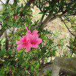 ピンク色の花、二種