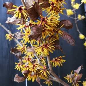 斜めお向かいさんに #シナマンサク を頂きました🤗#ロウバイ と一緒に挿しましたが、同じ時期に咲く黄色系の花でも、かなり雰囲気が違っていますhttp://ikadamitake.com営業時間・1月〜3月 11〜16時4月〜12月 11〜17時金曜定休(祭日は営業)Tel.0428-85-8726#むかし鳥 #体験型 #炭鳥ikada #ばくだん #mitake #御岳 #御嶽駅 #秩父多摩甲斐国立公園 #御岳山 #御岳山ロックガーデン #武蔵御嶽神社 #御岳渓谷 #御岳ランチ #奥多摩 #奥多摩湖 #バイク #ロードバイク #サイクリング #カヌー #カヤック #ラフティング #riversup #クライミング #ペット可 #nocovid19 #支那満作 #支那万作 #Japanesewitchhazel