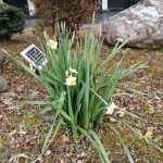 固い蕾だった #ニホンスイセン も、次々と咲きました植えてから数年間葉っぱだけでしたが、一昨年から液体肥料をやる様になって、美しく咲いてくれています🤗水仙さん、今までゴメンねhttp://ikadamitake.com営業時間・1月〜3月 11〜16時4月〜12月 11〜17時金曜定休(祭日は営業)Tel.0428-85-8726#むかし鳥 #体験型 #炭鳥ikada #ばくだん #mitake #御岳 #御嶽駅 #秩父多摩甲斐国立公園 #御岳山 #御岳山ロックガーデン #武蔵御嶽神社 #御岳渓谷 #御岳ランチ #奥多摩フィッシングセンター #奥多摩 #奥多摩湖 #バイク #ロードバイク #サイクリング #カヌー #カヤック #ラフティング #riversup #クライミング #ペット可 #nocovid19 #日本水仙 #Japanesenarcissus #narcissus