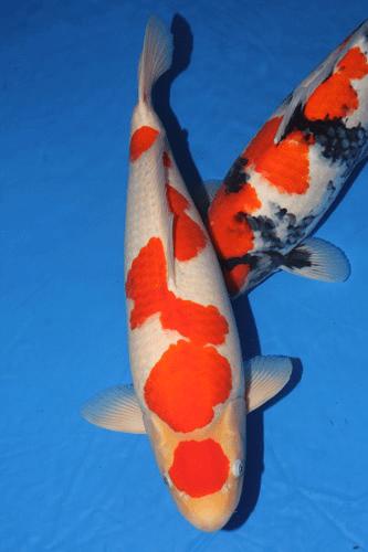 Ikan Koi Termahal : termahal, Gambar, Termahal, Dunia, Pernah, Ikankoi.org