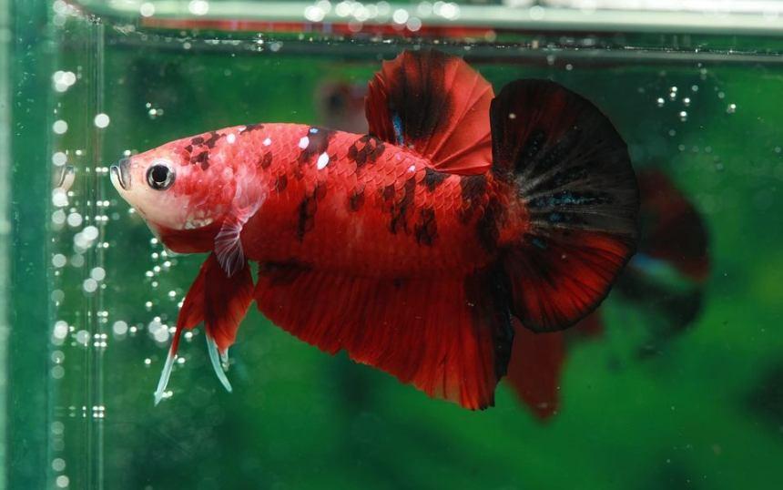 betta fish red