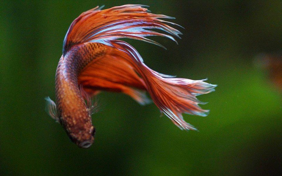 ikan cupang hias merah