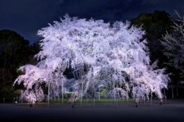 東京、花見、スポット、人気、4