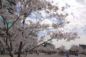 神戸市 桜 名所 穴場  花見 スポット 5