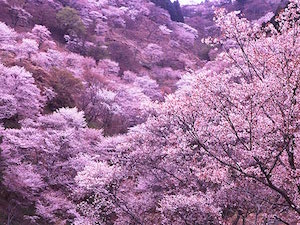 吉野 桜 名所 おすすめ 4