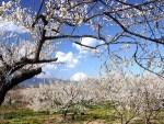 梅の花は関東の名所へ!見頃や穴場スポット、おすすめな持ち物は?