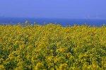 菜の花畑は関東の名所へ!見頃や人気スポット、おすすめな持ち物は?