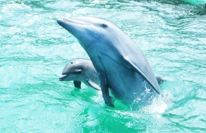 イルカ(親子で仲良く泳いでいたミラク(左)だったが…)