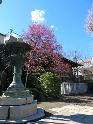 Plum blossoms in bloom at Sumiyoshi shrine