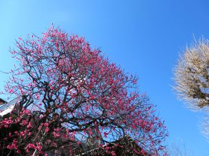 Plum blossoms and blue sky