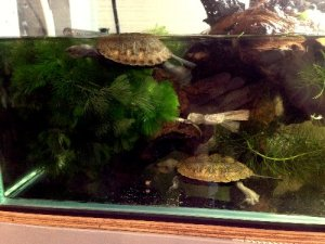 日本石亀、水槽へ