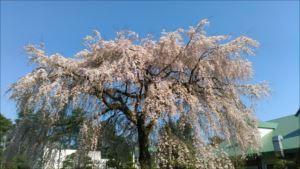 枝垂桜と池の鯉、そしてイルミネーション