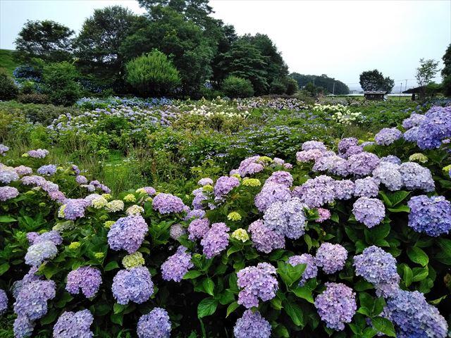 群馬県 紫陽花の名所 道の駅赤城の恵 車椅子バリアフリー情報