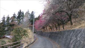 両神国民休養地福寿草園