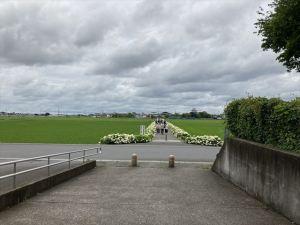 藤と紫陽花の名所 騎西総合公園