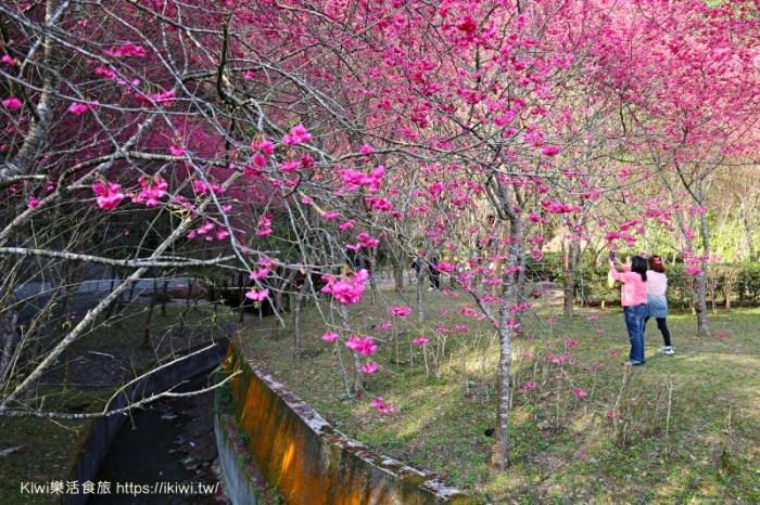宜蘭大同景點推薦 台七甲櫻花秘境 八重櫻盛開之宜蘭櫻花公路(台七甲線到台七丙)