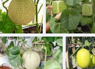 Ingin Menanam Melon Di Pekarangan