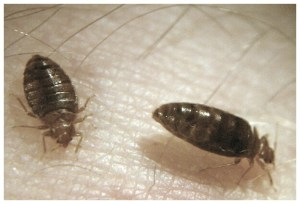 How To Get Rid Of Bed Bugs Inside Walls