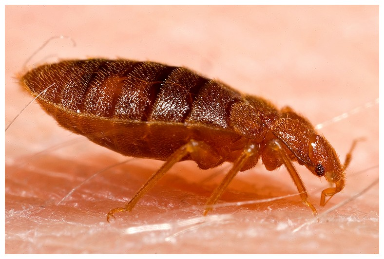 How To Get Rid Of Bed Bugs Quick And Easy