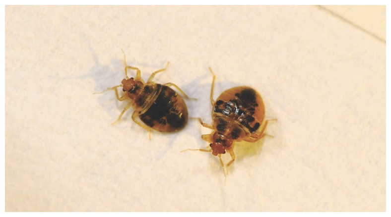 What Home Remedy Is Good To Kill Bed Bugs