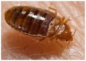 What Is The Best Chemical To Kill Bed Bugs