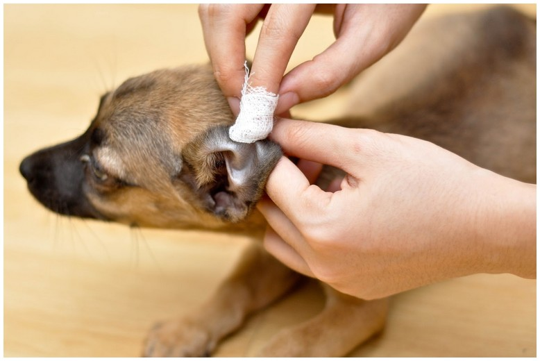 How To Get Rid Of Mites On Dogs Ears