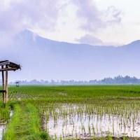 Sawah, Dangau, Petani Dan Burung