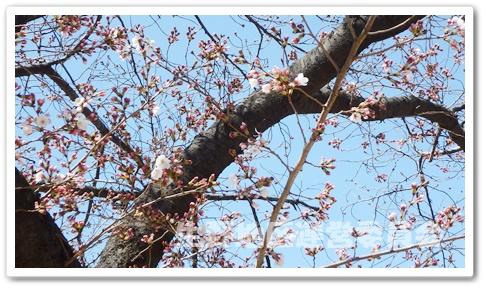 生野東公園 桜2