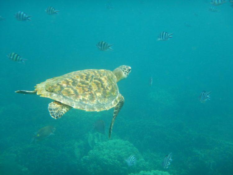 schildpad-kotao-thailand