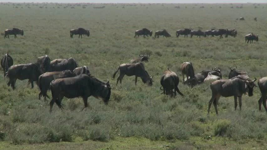 Wildebeest At Waterhole Watch Hyena Stock Footage Video