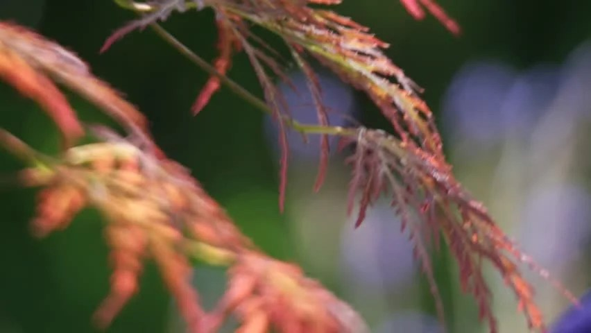 Japanese maple definitionmeaning