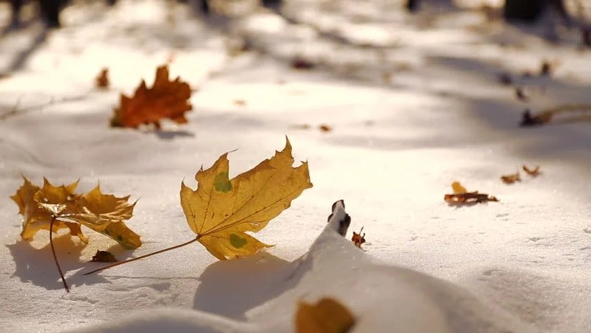 Falling Maple Leaves Wallpaper Autumn Leaves On White Snow Close Up The Leaves Fall On