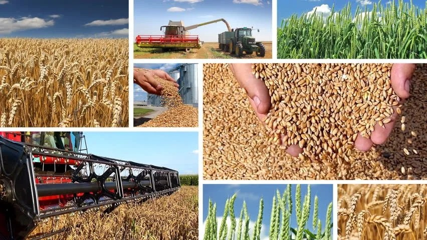 Production Of Wheat Collage, The entire sample (approximately 1, you can also break the 2, 0.2%, steam rolling, Green Wheat Combine ...