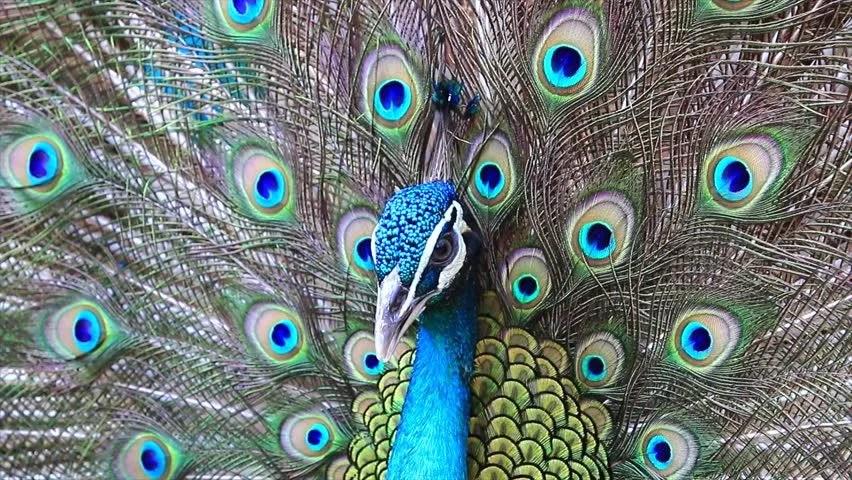 Male Peacock Bird In Natural Environment 4k 2160p Uhd