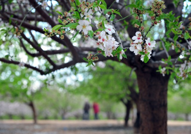 Almond trees blossom in Israel during the spring season