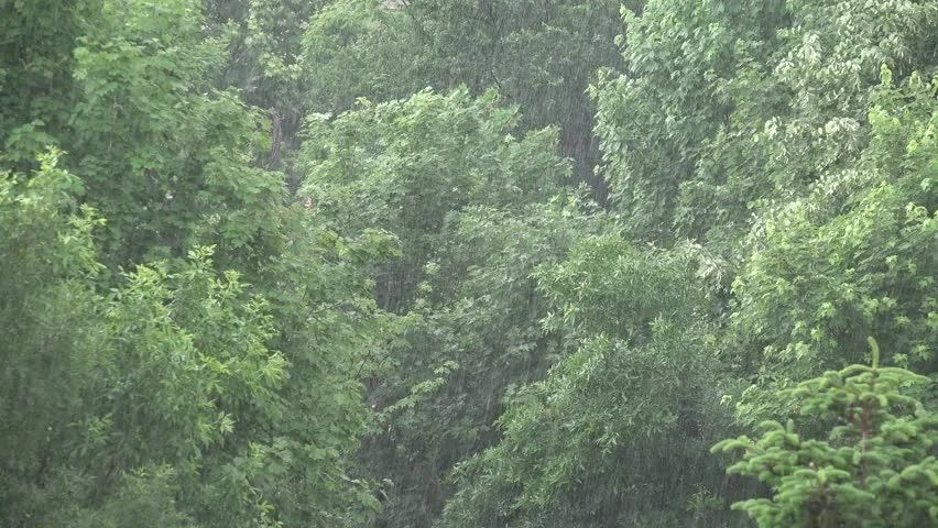 Ultra HD 4K Storm. Torrential Summer Rain Forest. Raining in Wood. Foliage. Rainy. Stormy Day in Nature. Background - 4K stock video clip