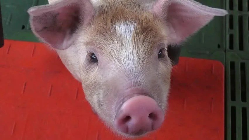 Baby Pigs Piglets Hogs Farm Animals HD Stock Video Clip