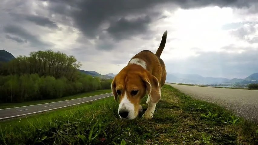Beagle On The Hunt: Sniffing For Prey Stock Footage Video 10357712 - Shutterstock